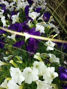 pretty petunias